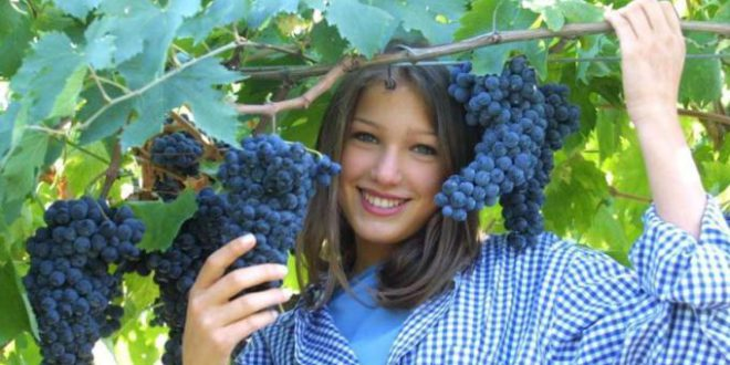 Come and join grape harvest in Salento!