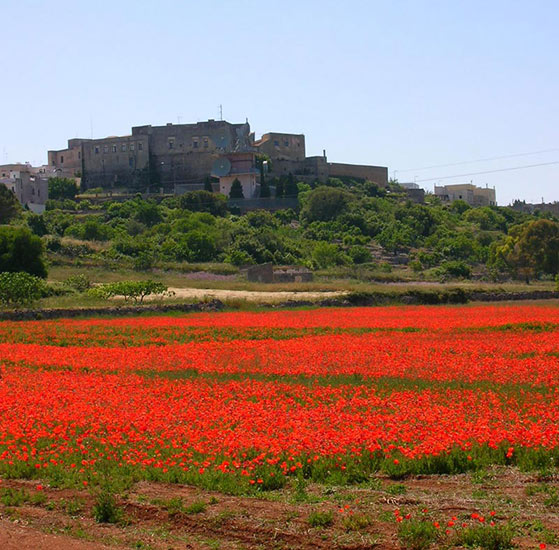 Poppies view