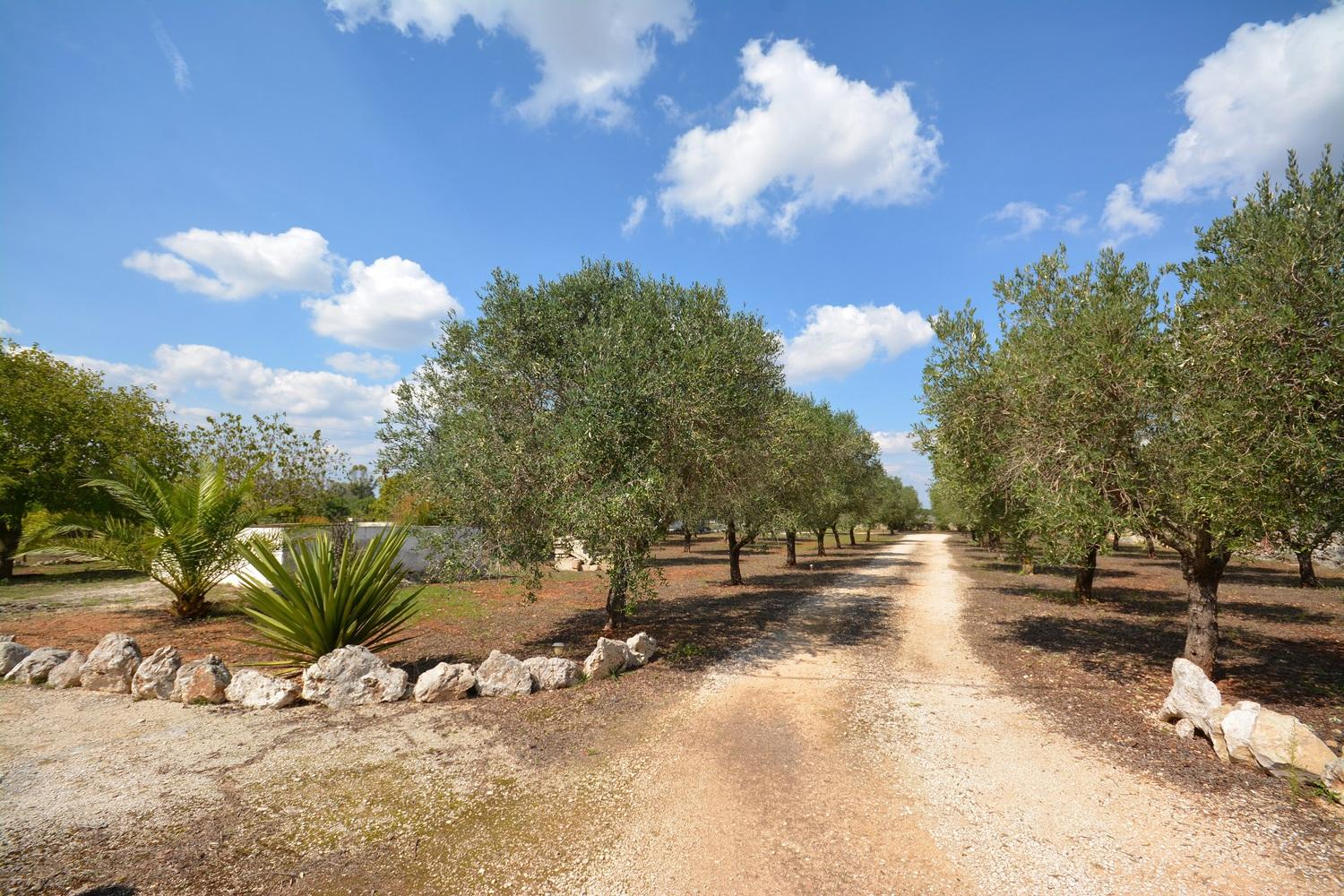 Olive grove - entrance path